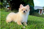 Picture of Cream/Apricot Female Pomeranian Puppy!  Tiny
