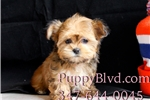 Picture of Super Tiny Shorkie Female Puppy For Sale in NY