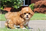 Picture of TINY ~ Shorkie Female Hybrid Puppy For Sale! VIDEO