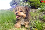 Picture of Super Cute Shorkie Female Puppy For Sale in NY