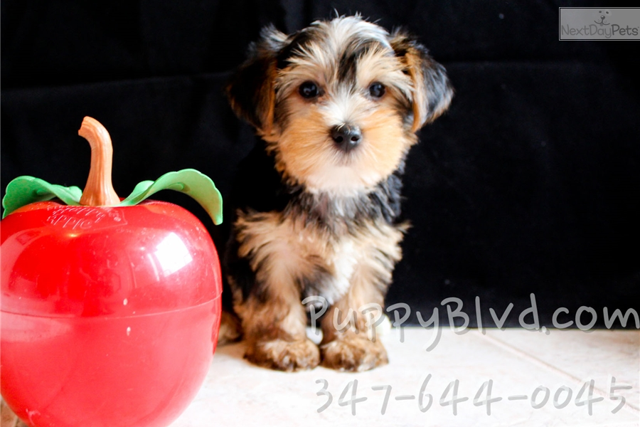 Yorkshire Terrier Yorkie Puppy For Sale Near Hudson Valley New York F9a58967 C851