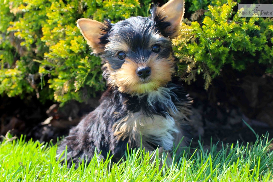 Twix Yorkshire Terrier Yorkie Puppy For Sale Near Hudson Valley New York 6890210f 7181