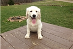 Picture of Kory - English Creme Golden Retriever