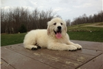 Picture of King - English Creme Golden Retriever