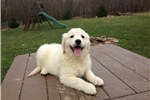 Picture of Karla - English Creme Golden Retriever