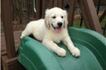 Picture of Kip - Engish Creme Golden Retriever