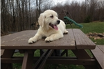 Picture of Kent- Engish Creme Golden Retriever