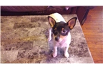 Picture of Adorable Toy Fox Terrier puppy