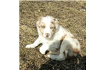 Picture of Red merle and white Tri male