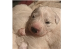 Baylee | Puppy at 3 weeks of age for sale