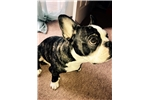 Picture of Luca the French Bulldog 7mo Brindle