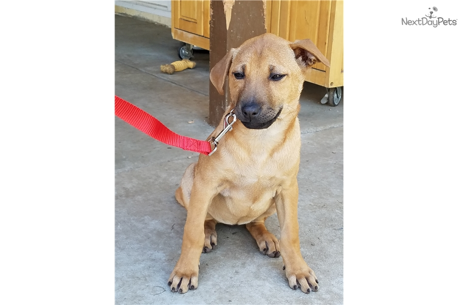 Phu Quoc Dog For Sale In California