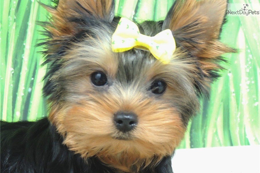 Yorkie dogs for sale chicago il and forex 3 ducks system