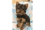 Picture of Edward  APRI Male Yorkie Black & Tan