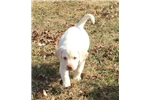 Picture of AKC Yellow Pointing lab puppy