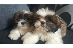 Picture of Beautiful shih tzu puppies