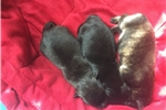 Picture of AKC Black Male Scottish Terrier