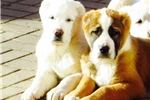 Picture of 2 Beautiful puppy for exhibition / protection