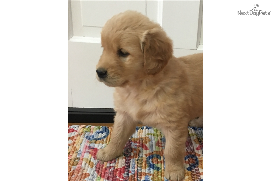 Golden Retriever Puppies For Sale Cleveland Ohio