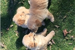 Picture of AKC registerable golden retriever puppy