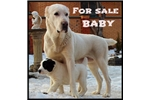 Picture of For sale puppies