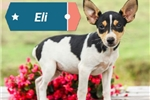 Picture of Toy Rat Terrier Puppy
