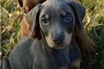Picture of Doberman Puppies