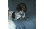 Picture of AKC Full Reg. German Shorthaired Puppy