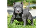 Picture of *** HIGH QUALITY PITBULL PUPPIES FOR SALE