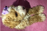 Picture of Beautiful Toy Poodle