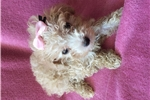 Picture of Female Toy Poodle