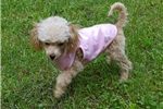 Picture of TEACUP FLORENCE *CALL TO ADOPT (438)820-2911*