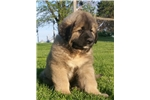 Picture of Tug - Caucasian Shepherd Puppy