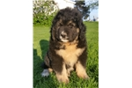spade | Puppy at 9 weeks of age for sale