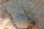 Picture of Male Cream poodle