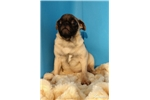 Picture of Male pug-Percy