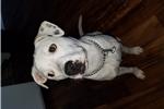 Picture of Dalmatian Bulldog Pit Mix