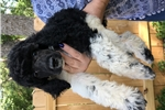 Picture of Matterhorn - Large Parti Male Poodle