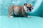 Picture of Bulldog Puppy Louisville
