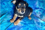 Australian kelpie  | Puppy at 22 weeks of age for sale