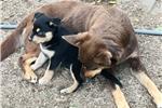 Picture of Kelpie pups
