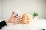 Picture of Mini Bichon Frise - Candy