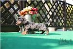 Picture of Tini - Teacup Dachshund - Promo Price !!