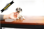 Picture of Lily - Teacup Blue Dachshund - Promo Price !!!