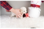 Picture of Miniature Poodle - Cleo