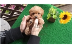 Picture of Miniature Poodle - Kelly