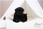 Picture of Oreo - Teacup Poodle - Promo Price !!!