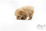 Picture of Aggie - Teacup Poodle - Promo Price !!!