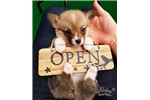 Picture of Teacup Welsh Corgi - Darrin