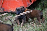 Picture of Working pups from top parents, Health tested